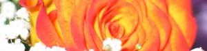 Orange rose banner
