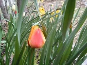 Tulips peeking through