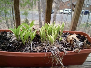 Hostas coming out to play